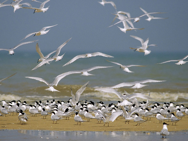 Flock of Sandwich Terns Nature