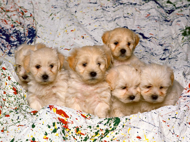 White Mixed Breed Puppies