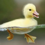 Swimming Duck