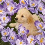 Beauty Golden Retriever and Flower